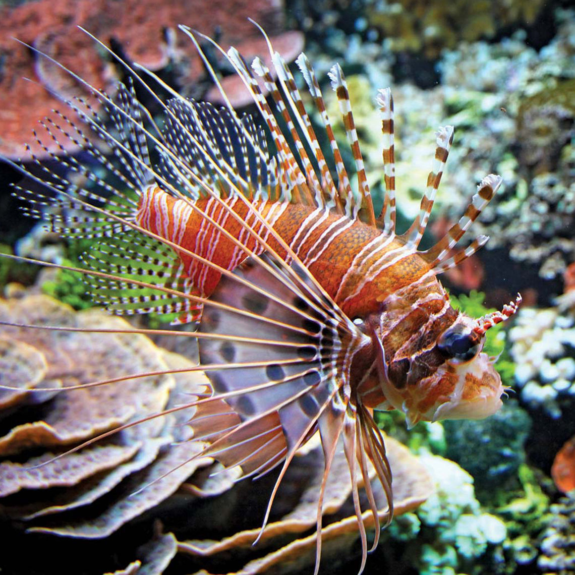 14 fish red lionfish side 150